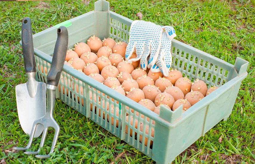Знаете, как сократить время от посадки картофеля до первых всходов? Полезные советы для дачников