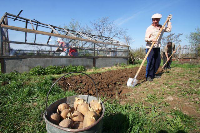 Дачников теперь могут штрафовать за выращивание картошки