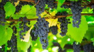 А вы знаете, что российским дачникам грозит штраф за выращивание винограда сорта Изабелла?